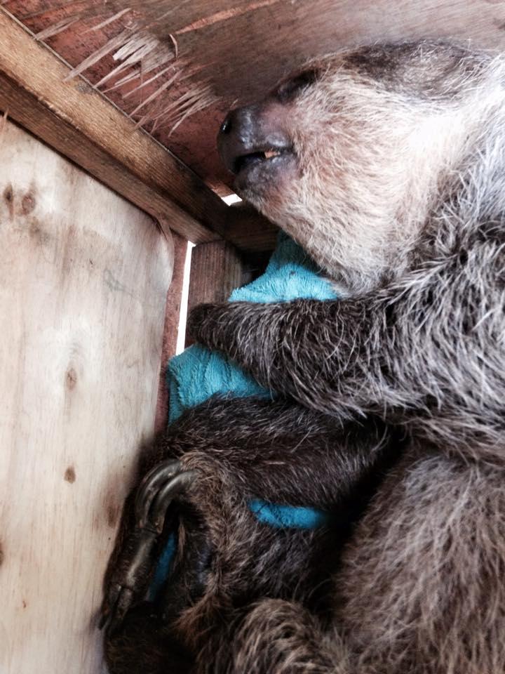 nap sloth